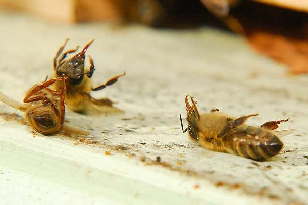 Le redoux met en péril nos abeilles - Rucher des Trésoms Annecy