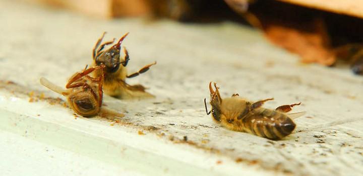 Le redoux met en péril nos abeilles